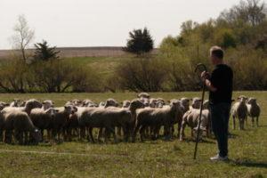 En fårehyrde er ansvarlig for flokkens vækst, velfærd og sikkerhed. Det er et meget alsidigt arbejde.